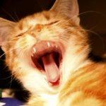 מהן 5 הדרכים לשניים בריאות לחתול?