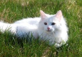 חתול נח בדשא