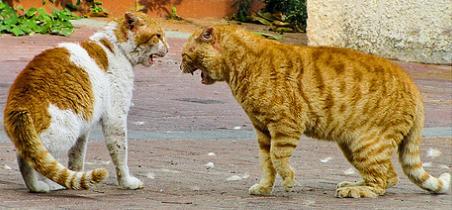 מלחמת חתולים