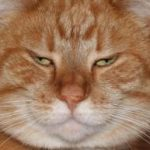 5 דרכים לקבוע אם החתול שלך שמן