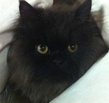 תמונה של חתול שמן