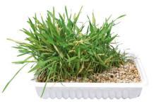 דשא לחתול לשתילה באדנית